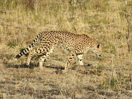Honeyguide Tented Safari Camps: Cheetah
