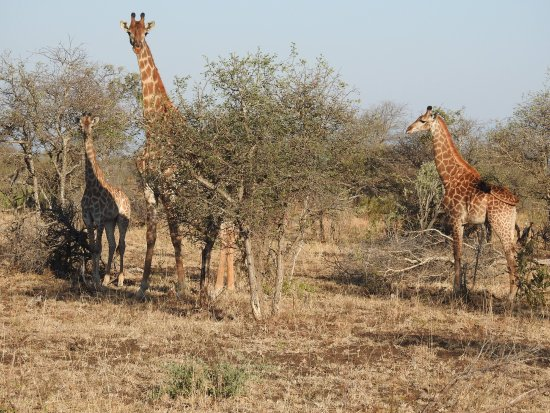Manyeleti Game Reserve, South Africa: giraffes