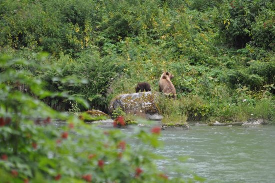 Haines, AK: Momma bear and cub
