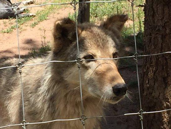 Divide, Kolorado: Wolf