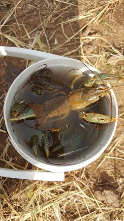 Dogtown Lake Campground: Crawfish caught on Dogtown Lake