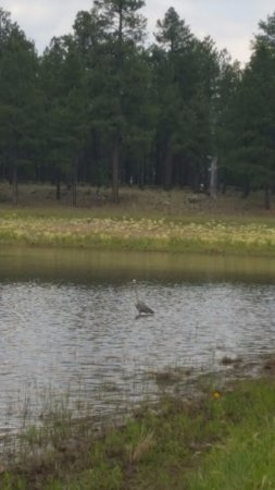 Dogtown Lake Campground: heron on Dogtown Lake