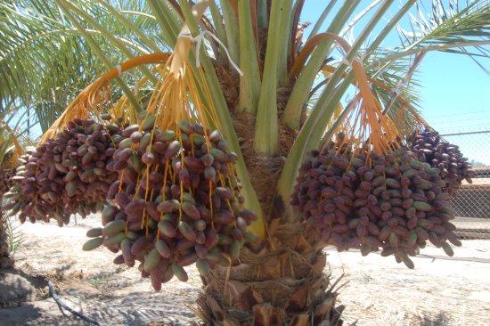 Medjool date palm