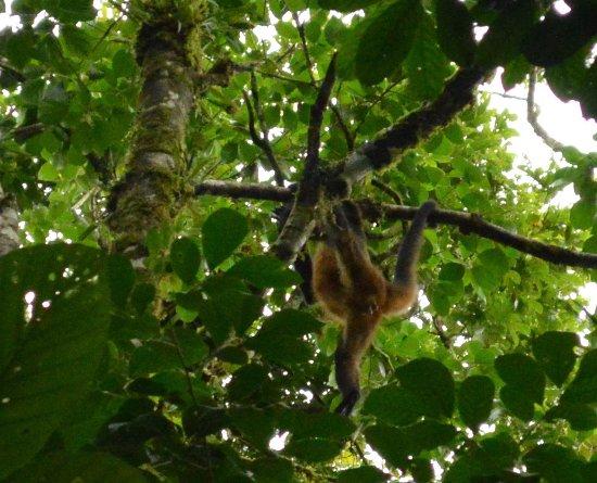 Hotel Kokoro Arenal: monkeys in the trees