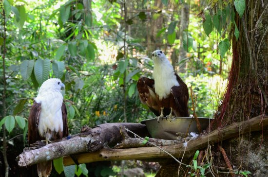 Davao City, Filipinas: Aside from eagles, you can also see other bird species, like these kites or hawks.