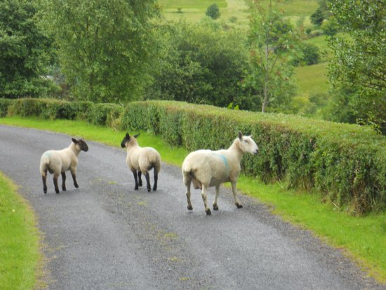 Carrick, Ireland: Sheep on the road