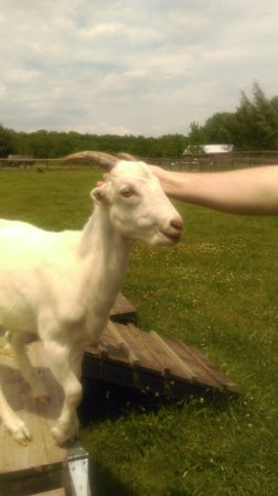 Willow, Nova York: A very friendly goat having his head scratched
