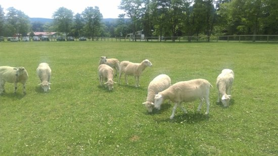 Willow, Nova York: Beautiful fluffy sheep grazing in a field