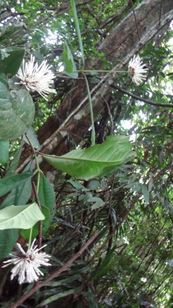 Taman Negara National Park, Malasia: forest flowers