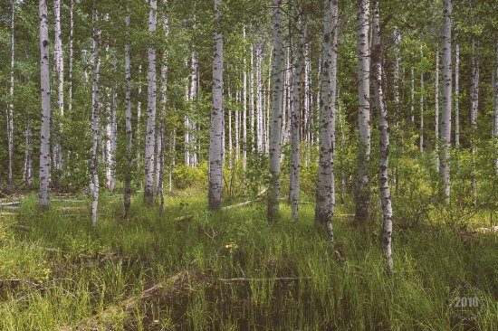 Ponderosa State Park: In The Thicket Of It All the Aspens 2016