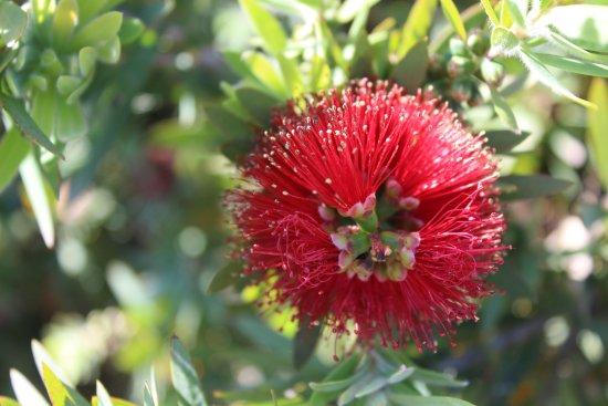 Bicheno, Avustralya: Flower at the entrance