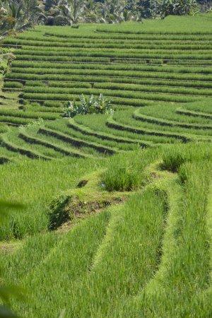 Bali Eco Stay Bungalows: Rice Field Walk