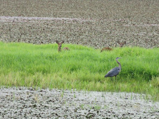 Washougal, WA: twin fawns and heron