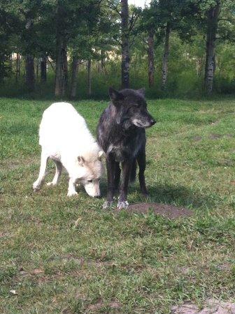 Yamnuska Wolfdog Sanctuary: Two Wolfdogs!