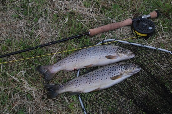 Ballynary, Irland: Some wild brown trout from Lough Arrow