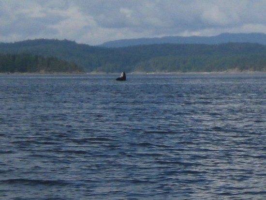 Campbell River, Kanada: Whale spy hopping...I had a very small camera for this pic