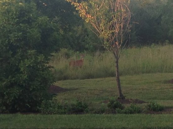 SpringHill Suites Dulles Airport: Deer in the trees outside spring hill suites