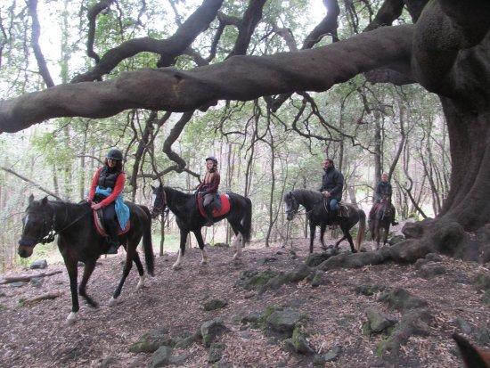 """Zafferana Etnea, İtalya: """"Ilice del Carrinu...  circa 700 anni di albero!"""