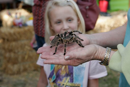 Tarantula Festival in Coarsegold, California.