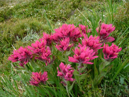 Canadian Rockies Alpine Hiking Day Tours: Hot pink/fucia Indian Paint flowers
