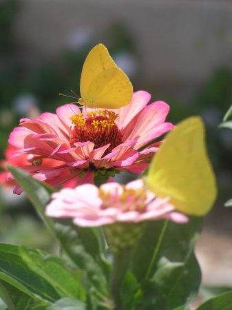 Tarpley, TX: Sulphur butterflies in the garden