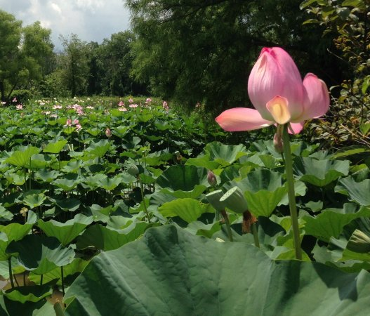 Lotus flower at the lotus and water lily festival picture of kenilworth park and aquatic gardens lotus blossom mightylinksfo