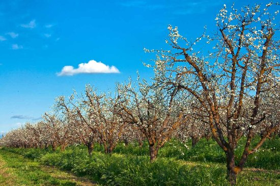 Orchard. Madera, California. Photo by Nancy Robbins.