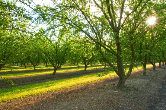 Orchard in early spring. Madera, California. Photo by Nancy Robbins.