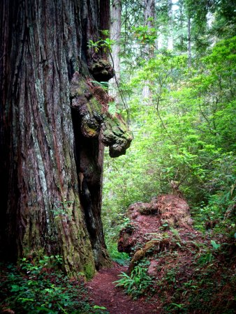 Orick, Kaliforniya: Rhodedendron Trail