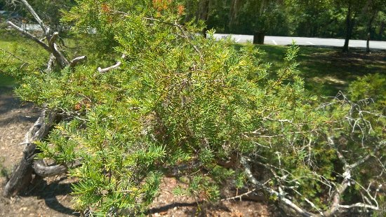 Bristol, FL: An extremely rare Florida Yew tree growing right in the middle of the picnic area!