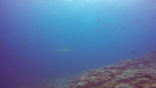 Puerto Villamil, Ekuador: Hammerhead Shark - Tortuga Island Diving