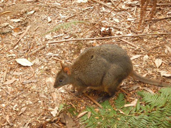 Smithton, Australia: Wallaby