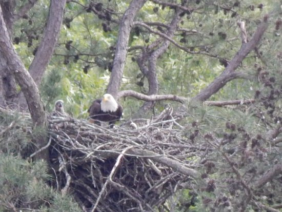 Dover, TN: Adult bald eagle and baby chick