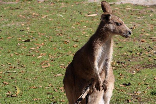 澳洲Bicheno: 袋鼠媽媽與露出腳的寶寶