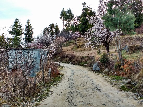 Rohru, Hindistan: Flowering apple trees
