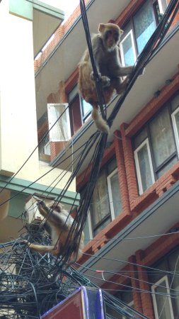 Thamel : Monkeys here and there