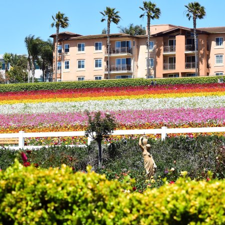 Carlsbad Flower Fields: Over view