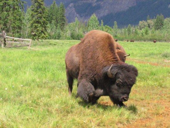 Golden, Canada: Rocky mountains buffalo ranch