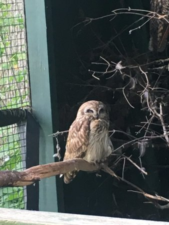 Adirondack Wildlife Refuge: An owl who has found a home here.