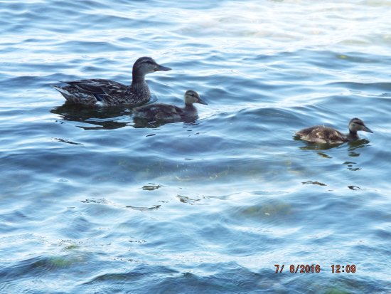 Lemoine Point Conservation Area: Female Mallard with young