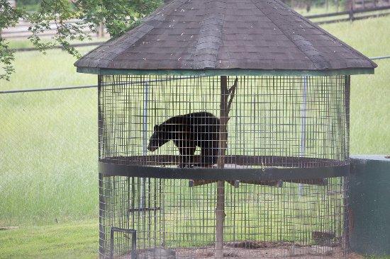 Dahlonega, جورجيا: Bear continually pacing.