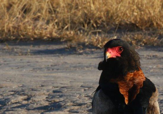 Maun, Botsuana: Bateleur/Short tailed Eagle
