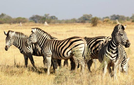 Maun, Botsuana: Plains Zebra