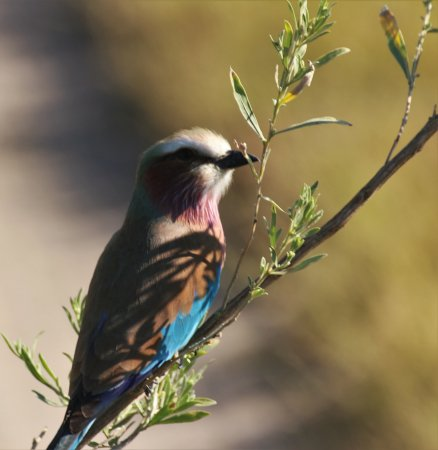 Maun, Botswana: Lilac Breasted Roller