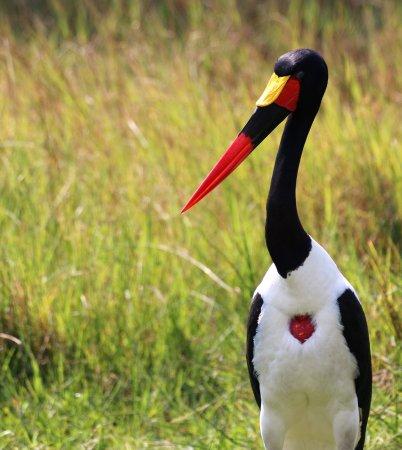 Maun, بوتسوانا: Saddle Billed Stork