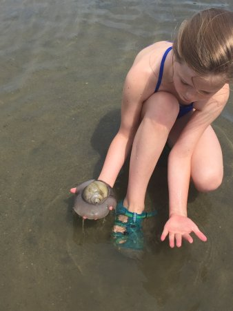 Georgetown, ME : We found this giant whelk in the lagoon at the park. This is my 10-year old granddaughter provid