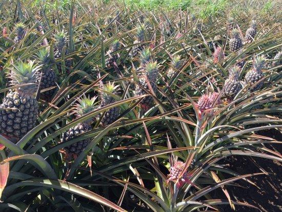 Makawao, ฮาวาย: Pineapple growing