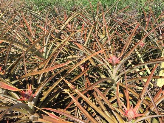 Makawao, ฮาวาย: Baby pineapple