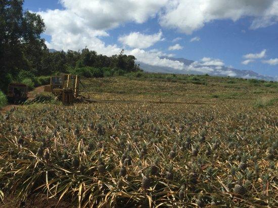 Makawao, ฮาวาย: Pineapple harvest machine