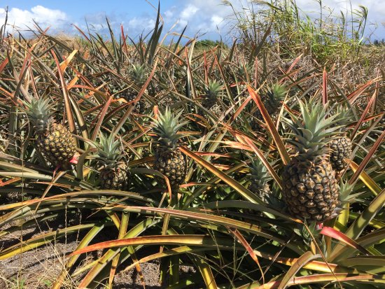 Makawao, Hawaï: Pineapples ready for harvest!